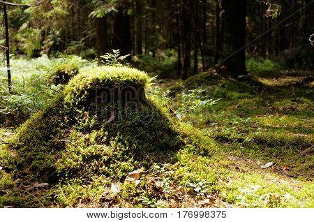 The mossy green stump in old-growth forest