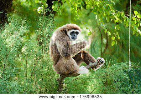 A white hand gibbon sitting on a tree relaxing and looking around.