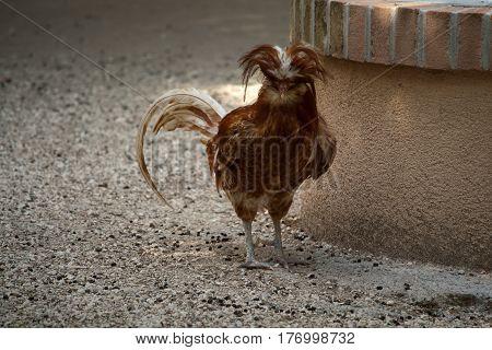 A Padovana Chicken in a barnyard near a well
