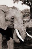 african elephant in zimbabwe poster