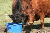 black calf feeding whilst another calf licks their nose poster