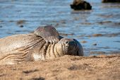 Resting seal at the beach from Peninsula Valdez in Argentina poster