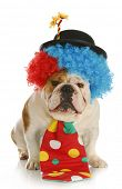 clown - english bulldog wearing clown costume on white background poster