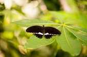 The (Eurasian) white admiral (Limenitis camilla) is a butterfly of the Nymphalidae family. poster