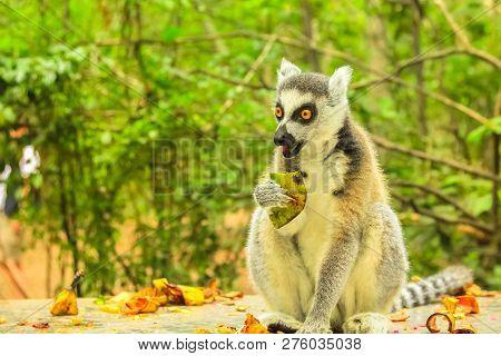 Madagascar Ringtail Lemur, Lemur Catta Species Eating Fruits On Forest Background.