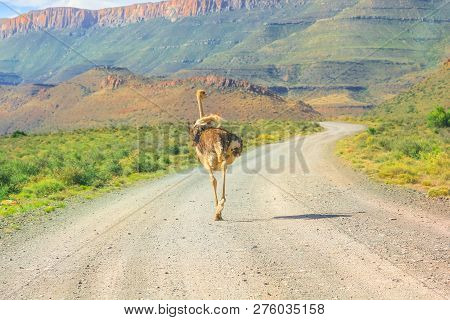 Ostrich On Karoo National Park Dirt Road. Beaufort West In South Africa. Mountain Background And Gra