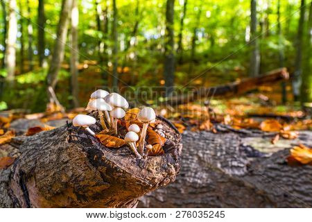 Group Of White Mushrooms On A Wooden Log In The Forest At Springtime