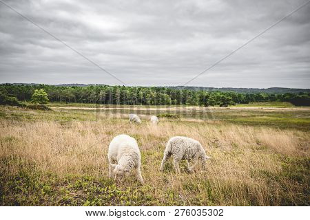 Sheep Grazing On A Meadow In Misty Cloudy Weather With A Forest In The Background