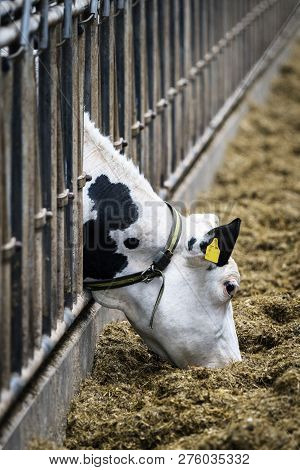 Cow In A Stable Eating Food From Behind The Bars With A Yellow Tag In The Ear