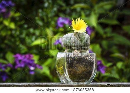 Cactus Flower Astrophytum Myriostigma Blooming With A Yellow Flower In A Garden