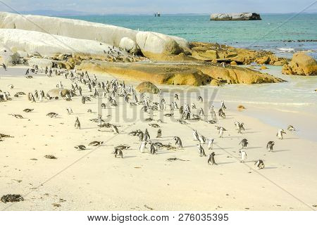 Penguins On White Shore Of Boulder Beach. Vast Colony Of African Penguins Is Located Near Simons Tow