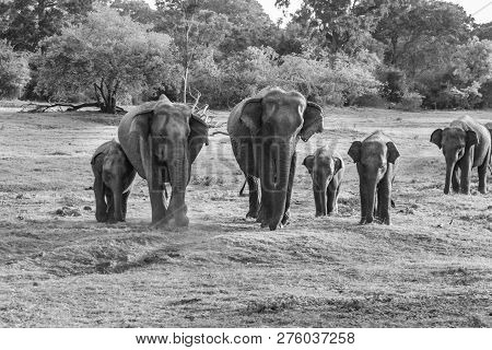 Wild Elefants In The Jungle