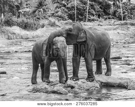 Elephants In The River In Pinnawella