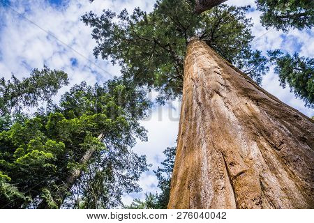 Sequoia National Park With Old Huge Sequoia Trees Like Redwoods Under Blue Sky