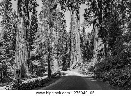 The Famous Big Sequoia Trees Are Standing In Sequoia National Park, Giant Village Area , Big Famous