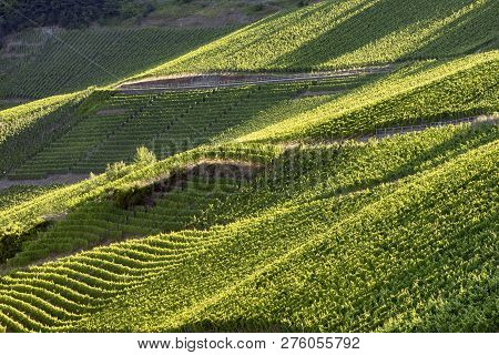 Detail Of Vine In Green Vineyard