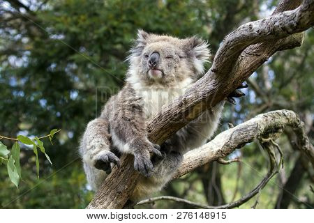 Phillip Island - Australia,  March 2018,  Koala Bear Resting Over A Tree And Look Bored  In A Forest