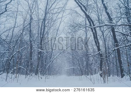 Winter Natural View Of Winter Frosty Tree Tops. Winter Background - Frosty Branches Of The Winter Tr