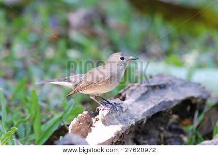 Red-thaoated Flycatcher