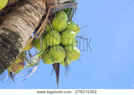 Closer Coconut Cluster On Tree Of Sea Sky Bright Atmosphere.