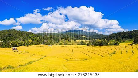 Panorama Landscape Of Gold Rice Fields In  Mae Hong Son Province, Khun Yuam District Thailand.