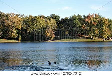 Geese Diving For Food In The Cool, Clear Waters Of A Lake In Kentucky On An Early Autumn Afternoon.