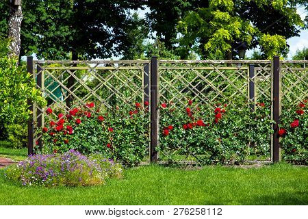Rose Garden Of Red Roses Planted And Growing On A Wooden Fence In The Garden With A Green Lawn, In T