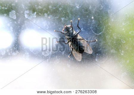 House Fly On The Windshield Dirty, Chrysomya Megacephala (fabricius), Musca Domestica, Fly Contagiou