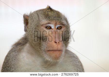Monkey, Monkey Face Portrait, Jungle Monkey Close Up, Monkey Ape