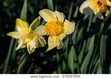 Beautiful Summer Cyclameniform Daffodils - Cyclamineus Close Up