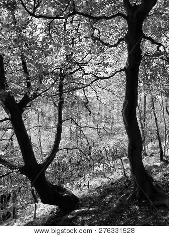 Monochrome Image Of Two Old Forest Trees In Silhouette Against Bright Sunlight On A Hillside