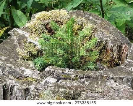 Tiny Sapling Sprouts From The Old, Grey Stump Of A Large Tree That Was Cut Down . Young Fir Tree Gro