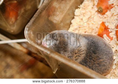 Common Mole Rat, Underground Rodent, Agricultural Underground Pest