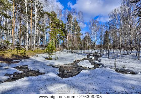 Early Spring Landscape In The Forest Where  White Birches, Green Pine Trees And First Young Grass, W