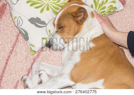 Master Lulling Basenji With Hand While The Dog Lying On A Sofa