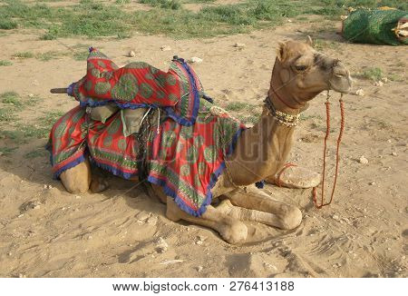 Camel Laying In Send Of Rjastan India Asia