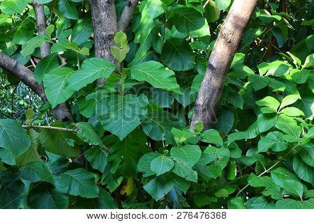 Teak Tree Plantation, Forest Teak, Teak Farm, Background Teak Wood