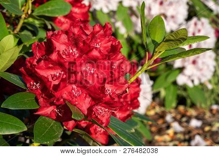 Rhododendron Hybrid Rabatz (rhododendron Hybrid), Close Up Of The Flower Head