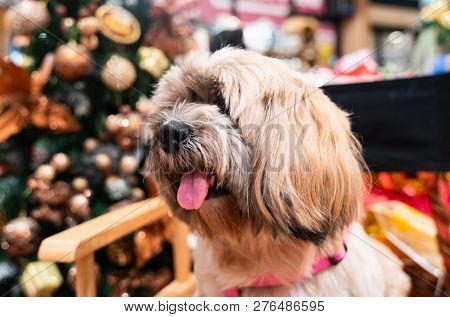 Close Up Of Face  Shizhu Dog With Chirstmas Tree