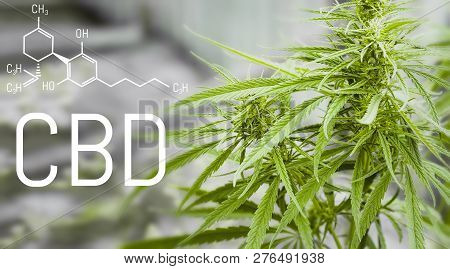 Cannabis Of Formula Cbd. Structural Model Of Cannabidiol Molecule. Oil Hemp Products. Healing Mariju