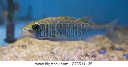 Closeup Of A Silver Juvenile Sea Bass, Portrait Of A Young Small Fish
