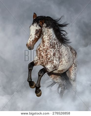 Crossbreed between Appaloosa and Andalusian horse rearing in light smoke.