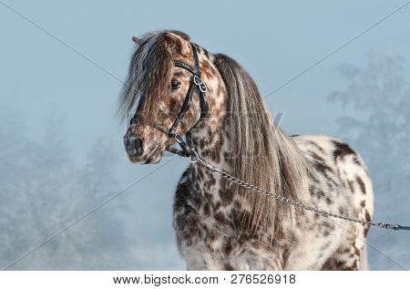 Horizontal portrait of Appaloosa miniature horse in black halter at winter time.