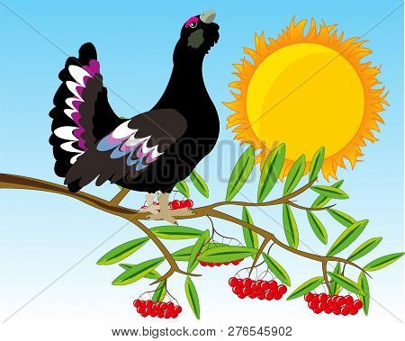 Bird Black Grouse On Branch Of Rowanberry