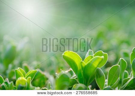 Close Up View Of Nature Green Leaves On Greenery Blurred Background And Sunlight In Public Garden Pa