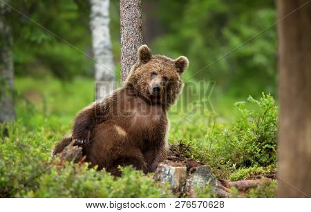 Close-up Of European Brown Bear (ursos Arctos) Leaning Against The Tree In Boreal Forest, Finland.