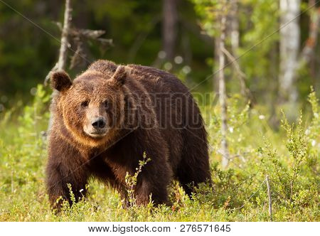 Close-up Of European Brown Bear (ursos Arctos) Male In Boreal Forest, Finland.