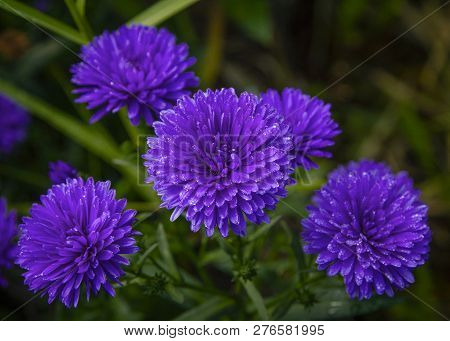 Beautiful Purple Florescence Aster Flowers Close-up Picture