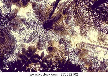 Giant Ferns In Whakarewarewa Redwood Forest, Rotorua, New Zealand