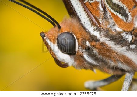 Two Tailed Pasha Butterfly Head